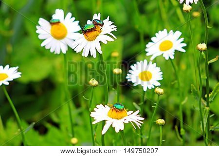 Bugs (Cetonia aurata) on chamomile in the garden