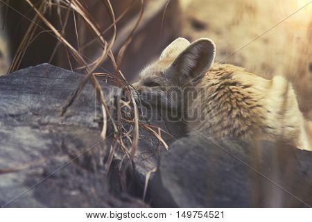 Close Up On Fennec Fox (vulpes Zerda)