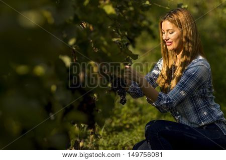 Woman picking a grape during wine harvest