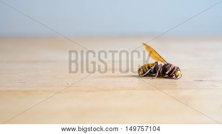 Dead European hornet Vespa crabro on bright wooden floor