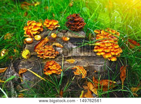 false agaric mushrooms and chestnut shell on the old log close up photo
