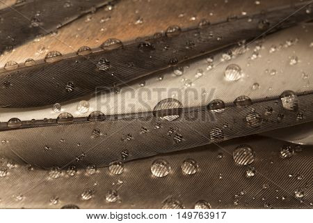 Water drops on the gray pigeon feathers