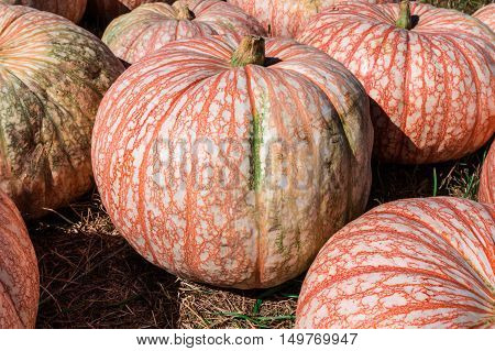Striped pumpkin at Outhouse Orchard North Salem NY