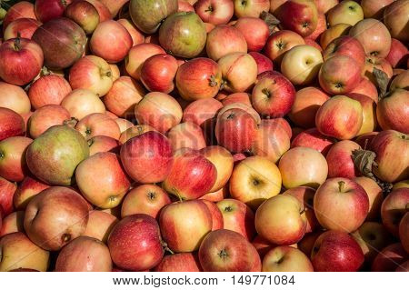 Fresh McIntosh apples at Outhouse Orchard North Salem NY