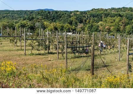 Young apple trees at Outhouse Orchard North Salem NY