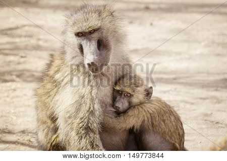 A baby monkey and his mother on the african savanna
