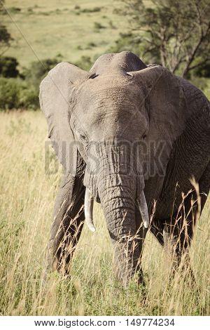 A large elephant walks on the african savanna