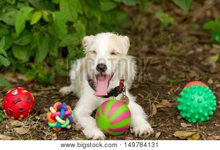 Dog toys is a funny puppy playing with his colorful toys outside.