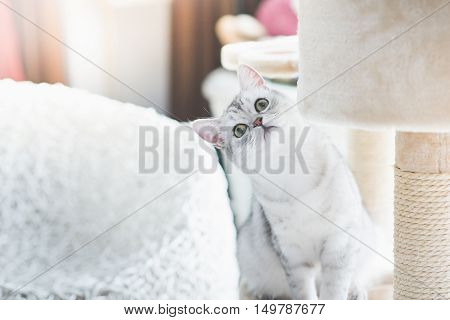 Cute American Short Hair cat looking up on cat tower