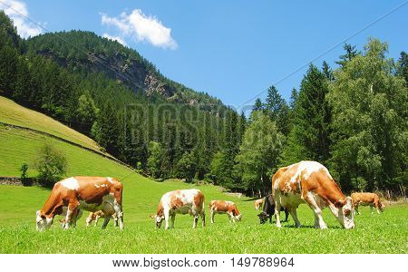 Cows on a meadow in Tyrolean Alps.