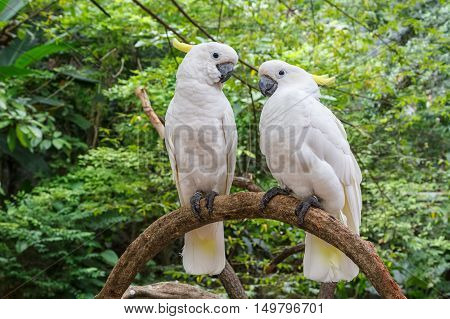 Cute couple of white Cockatoo Sulphur crested Cockatoo (Cacatua galerita) standing on a branch