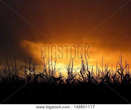 Cornfield Tassels at Sunset. Silhouette of corn stalk tassels in front of a golden sunset.
