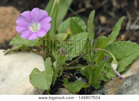 Mallow-leaved Bindweed - Convolvulus althaeoides Flower and Leaves