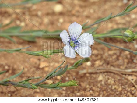 Pale Flax - Linum bienne Flower Buds & Leaves
