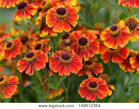 Autumn flower bed with orange and red daisy flowers. Vintage seasonal background. Nature in blossom, retro garden concept