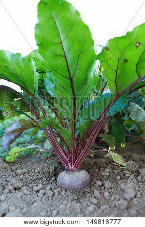 Beetroot In A Vegetable Garden. Growing Beetroot.
