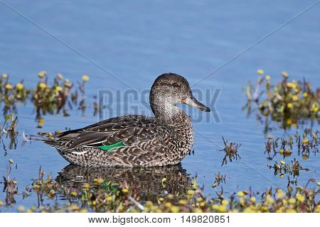 Eurasian teal (Anas crecca) swimming in water with vegetation around it