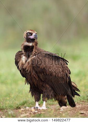 Black vulture (Aegypius monachus) resting on the ground in its habitat