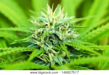 Marijuana flowering buds with macro crystals( cannabis) hemp plant