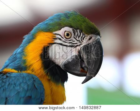 Blue and Gold Macaw (Ara Ararauna).