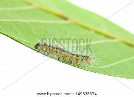 Fall Webworm Crawling On Leaf