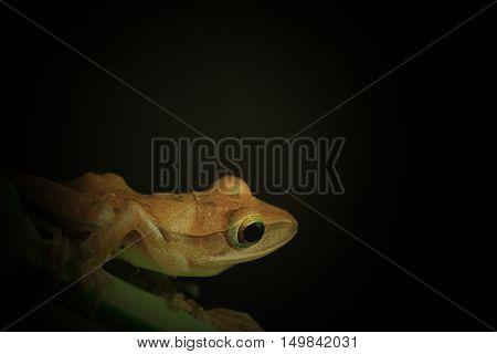 Big eye frog found at Phuket Bangkok