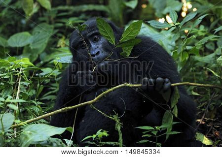 Mountain Gorilla (Gorilla beringei beringei) Feeding. Bwindi Impenetrable National Park Uganda