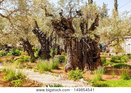 Garden of Gethsemane, Jerusalem, Israel. Perhaps the olive trees, which have seen Jesus.