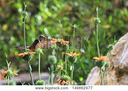 Nice hummingbird feeding on orange flower in the mountains of northern Peru. Cordillera Huayhuash near Cordillera Blanca.