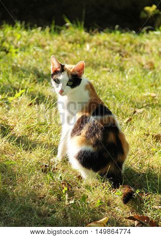 tricolor cat sitting in the garden on sunny autumn day