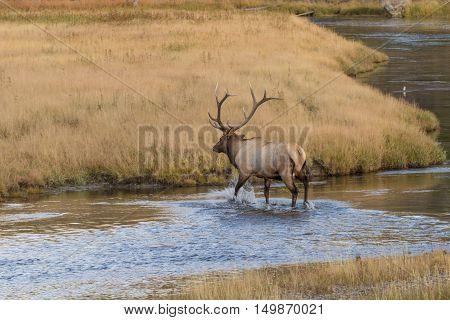 a bull elk crossing a stream during the fall rut