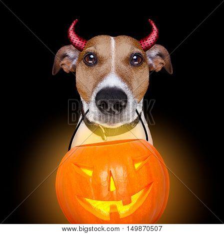 Halloween Pumpkin Devil Dog Isolated On Black