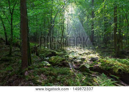 Misty deciduous stand rain after with old broken tree in foreground, Bialowieza Forest, Poland, Europe