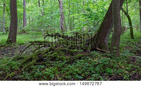 Partly wind fall over spruce tree in summer with roots broken among deciduous trees, Bialowieza Forest, Poland, Europe