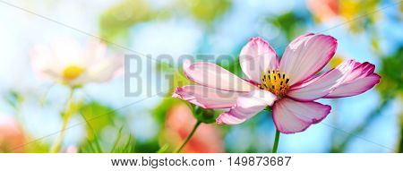 Closeup of white cosmos flower . Selective focus at the flower.Macro Shot of white Cosmos flower.