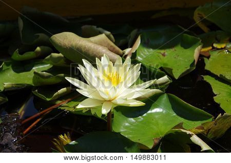 Water lily in Srinagar in Kashmir, India