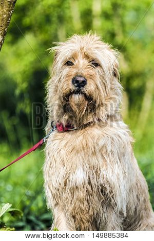 lon haired yellow dog outdoor closeup green background