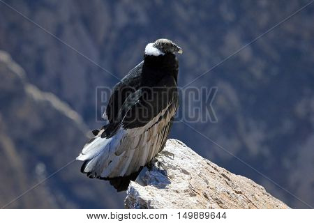 A nice female adult condor sitting close on a rock. Colca canyon - one of the deepest canyons in the world, near the city of Arequipa in Peru.