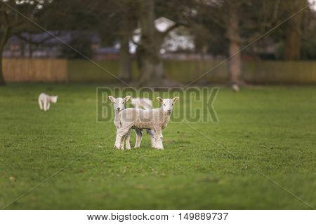 Young baby spring lambs and sheep in a green farm field