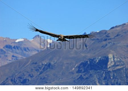 A male young andean condor flying over the mountains of Colca canyon - one of the deepest canyons in the world, near the city of Arequipa in Peru.