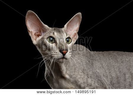 Peterbald Sphynx Cat Curiosity Looking back on Isolated Black background