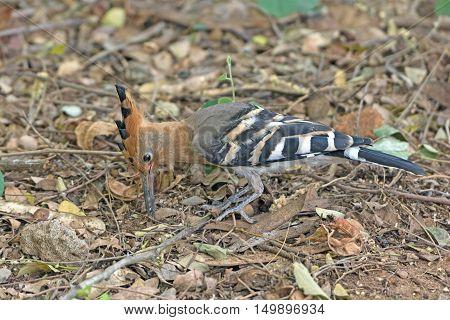 Hoopoe Looking for food in Nagarhole National Park in India