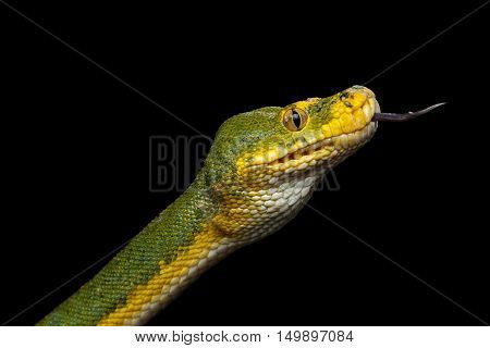 Close-up Green Tree Python Snake in Attack. Morelia viridis. Isolated black background