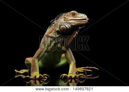 Green Iguana Sitting and Gazing Scary, Show claws and Licked Isolated on Black Background