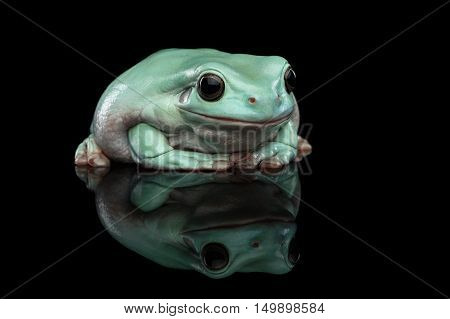 Australian green tree frog, or Litoria caerulea Isolated on black background with reflection