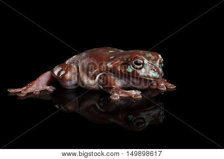 Australian green tree frog, or Litoria caerulea with spots Isolated on black background with reflection