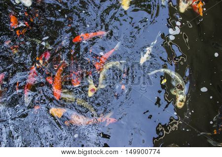 Koi fish swimming in the pond, Colorful koi fish in the pond