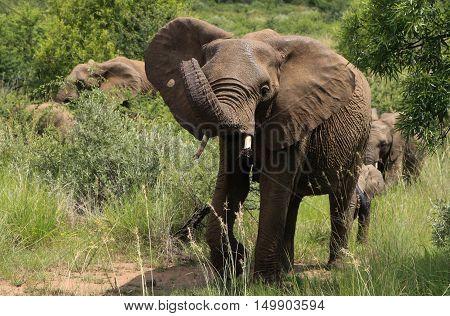Female Elephant at The Pilanesberg Park South Africa
