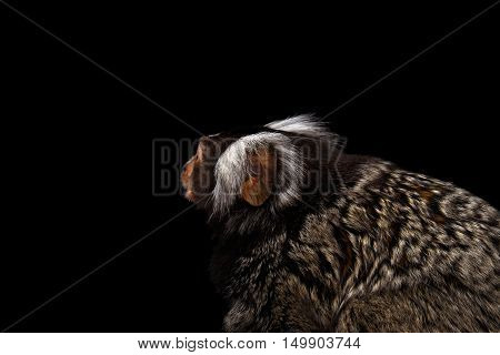 Close-up Profile portrait of Cute monkey Common Marmoset, Callithrix jacchus with Huge Ears Isolated Black background