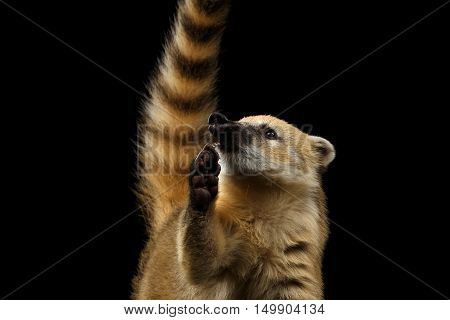 Close-up Portrait of Wild animal South American coati, Nasua Looking up and Raising paw, asking food, with Tail Isolated on Black Background